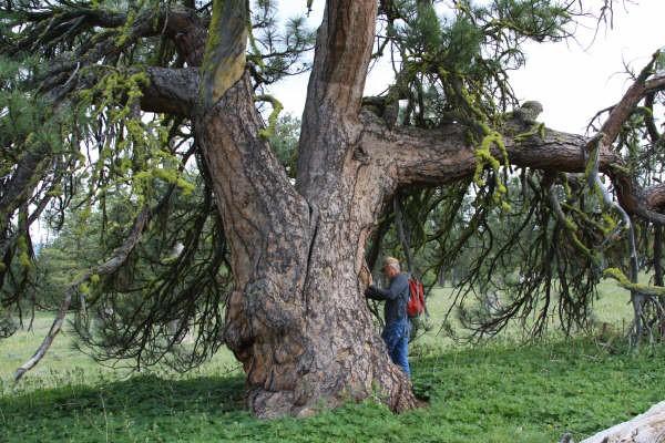 Big Tree - Meeks